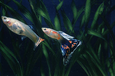 Photograph - Guppies by Paul Zahl