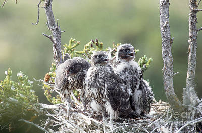 Gyrfalcon Photograph - Gyrfalcons In Nest by William H. Mullins