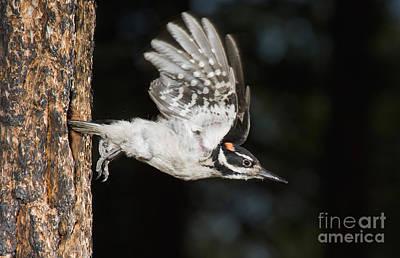 Picoides Villosus Photograph - Hairy Woodpecker by Anthony Mercieca