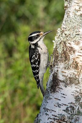 Hairy Woodpecker Photograph - Hairy Woodpecker by Linda Freshwaters Arndt