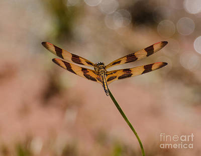 Photograph - Halloween Pennant Dragonfly by Donna Brown