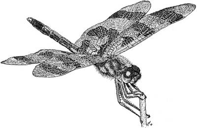 Celithemis Eponina Photograph - Halloween Pennant Dragonfly by Roger Hall