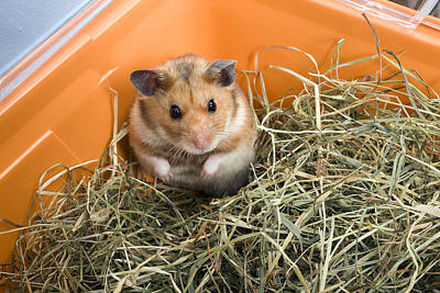 Syrian Hamster Photograph - Hamster by Jean-Michel Labat