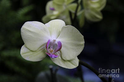 Happiness Is An Orchid  Art Print by Martha Burger