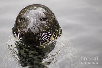 Phoca Vitulina Photograph - Harbor Seal by Twenty Two North Photography