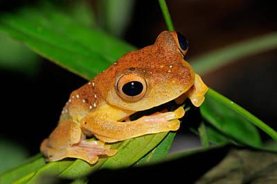 Rhacophorus Photograph - Harlequin Flying Frog, Malaysia by Fletcher & Baylis