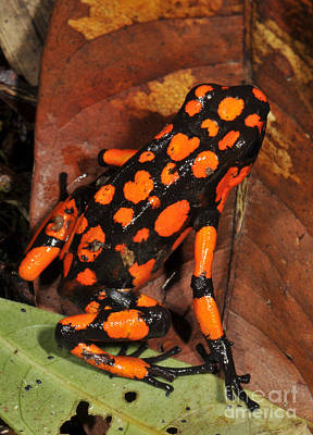 Photograph - Harlequin Poison Frog by Francesco Tomasinelli