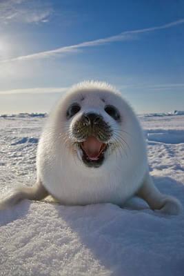 Madeleine Photograph - Harp Seal Pup On Ice, Iles De La by Keren Su