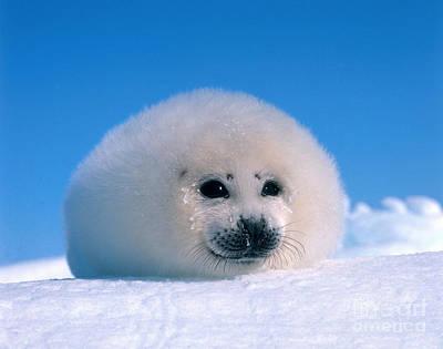 Photograph - Harp Seal Pup Phoca Groenlandica by Hans Reinhard
