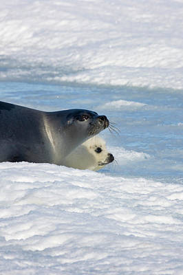 Madeleine Photograph - Harp Seals, Mother With Cub On Ice by Keren Su