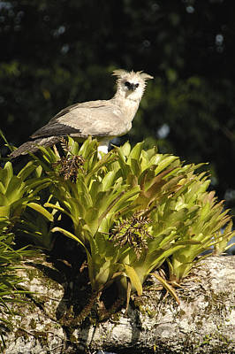 Harpy Eagle Photograph - Harpy Eagle Chick In Kapok Tree by Pete Oxford