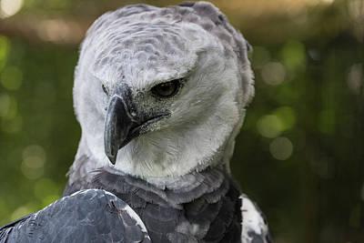 Harpy Eagle Photograph - Harpy Eagle, Harpia Harpyja by Jon G. Fuller