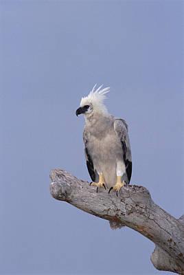 Harpy Eagle Photograph - Harpy Eagle Juvenile Silk-cotton Tree by Tui De Roy