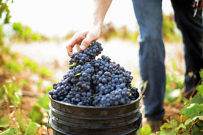 Pinot Noir Photograph - Harvest At Vineyard In Santa Cruz by Clay McLachlan