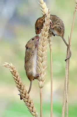 Small Rodents Photograph - Harvest Mice by Colin Varndell