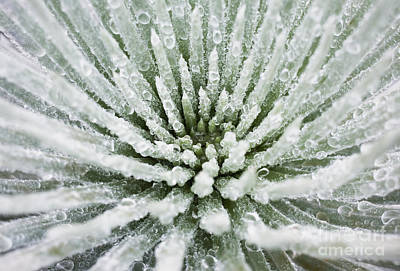 Photograph - Hawaii, Maui, Haleakala National Park, Close Up Of Water Droplets On A Silversword _argyroxiphium Sandwicense_ Plant. by Charmian Vistaunet