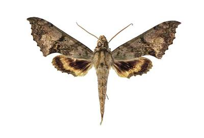 Hawk Moth Art Print