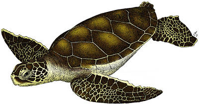Photograph - Hawksbill Sea Turtle by Roger Hall