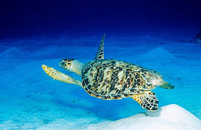 Chelonian Photograph - Hawksbill Turtle by Andrew J. Martinez