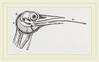 Woodpecker Drawing - Head Of Woodpecker by Litz Collection