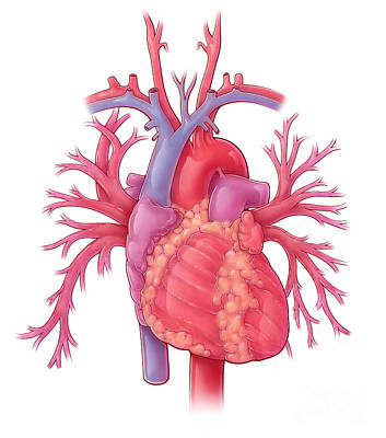 Photograph - Heart Illustration, With Pulmonary Veins by Evan Oto
