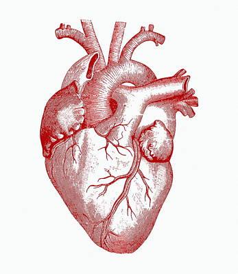 Organ Photograph - Heart by Mehau Kulyk