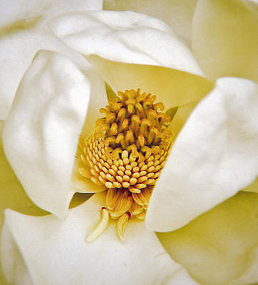 Photograph - Heart Of Magnolia by Debra Crank