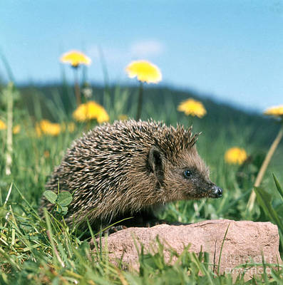 Photograph - Hedgehog by Hans Reinhard