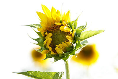 Photograph - Helianthus Annuus by Dennis Hedberg