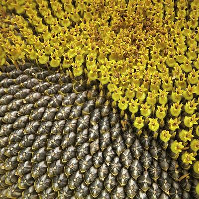 Floret Photograph - Helianthus Sunflower Seeds Close Up by Mark Sykes
