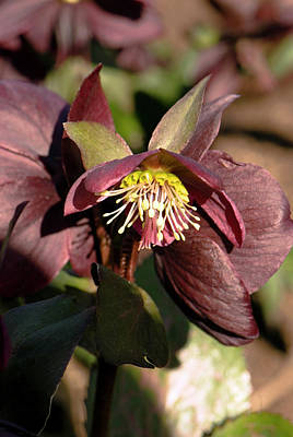 Hellebore Photograph - Helleborus 'anna's Red' Flower by Adrian Thomas