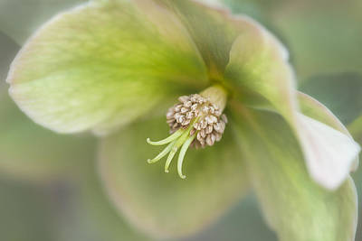 Photograph - Helleborus Two by Kasandra Sproson