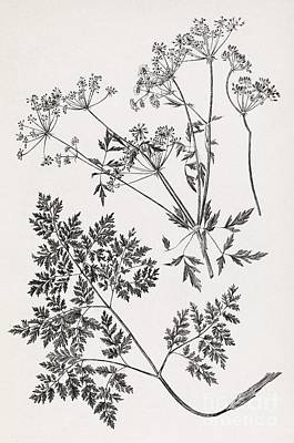 Hemlock, 19th Century Artwork Art Print by Middle Temple Library