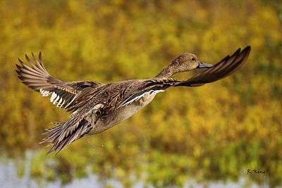 Photograph - Hen Northern Pintail In Flight  by Roena King