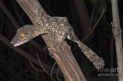 Henkels Leaftailed Gecko Art Print