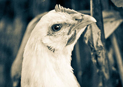 Photograph - Henny Penny Looks Askance by Ronda Broatch