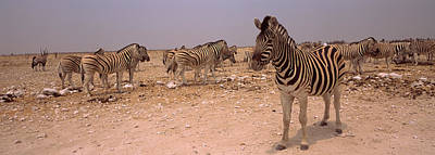 Herd Of Burchells Zebras Equus Quagga Art Print