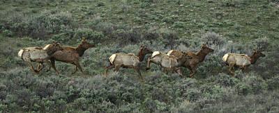 Mule Deer Herd Photograph - Herd Of Mule Deer, Odocoileus Hemionus by Raul Touzon