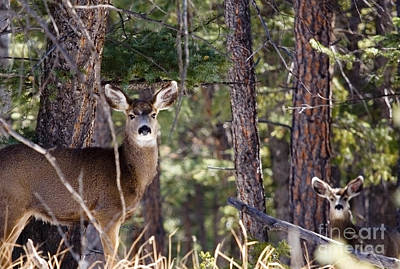 Steven Krull Royalty-Free and Rights-Managed Images - Herd of Mule Deer by Steven Krull