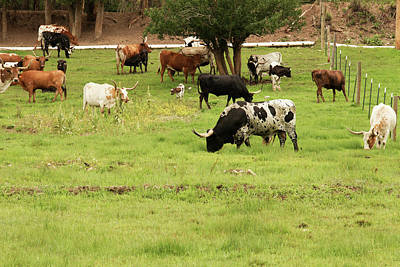 Herd Of Texas Longhorn Cattle In Green Art Print