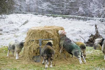Winter Landscapes Photograph - Herdwick Sheep Feeding On Hay by Ashley Cooper