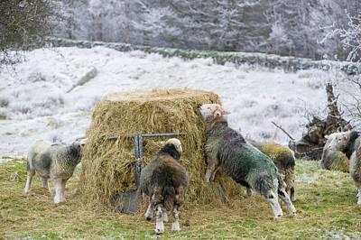 Feeding Photograph - Herdwick Sheep Feeding On Hay by Ashley Cooper
