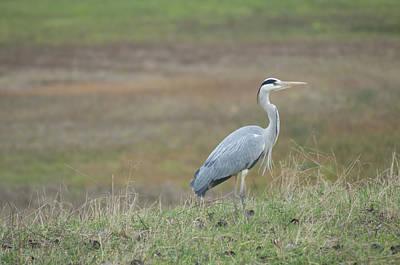 Photograph - Heron - Fischreiher by Miguel Winterpacht