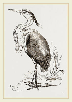 Herons Drawing - Heron by Litz Collection