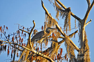 Suwannee River Photograph - Heron On High by Al Powell Photography USA