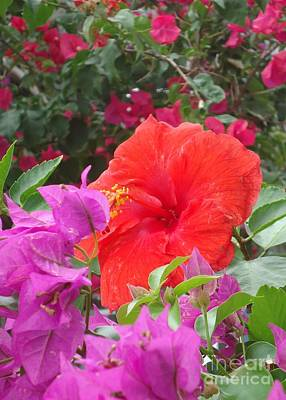 Photograph - Hibiscus Amidst Bougainvillea by Barbie Corbett-Newmin
