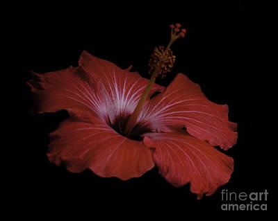 Photograph - Hibiscus by Ronald Grogan