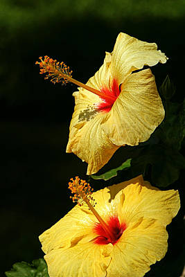Photograph - Hibiscus Taormina by Susan Leake