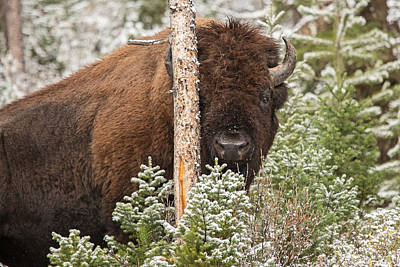 Bison Photograph - You Can't See Me by Sandy Sisti