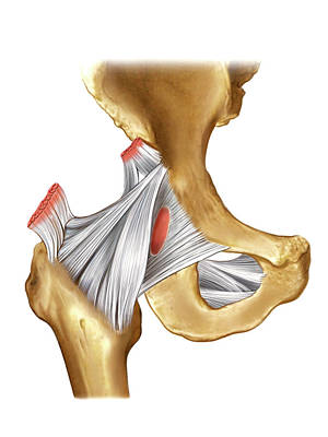 Human Joint Photograph - Hip Joint by Asklepios Medical Atlas